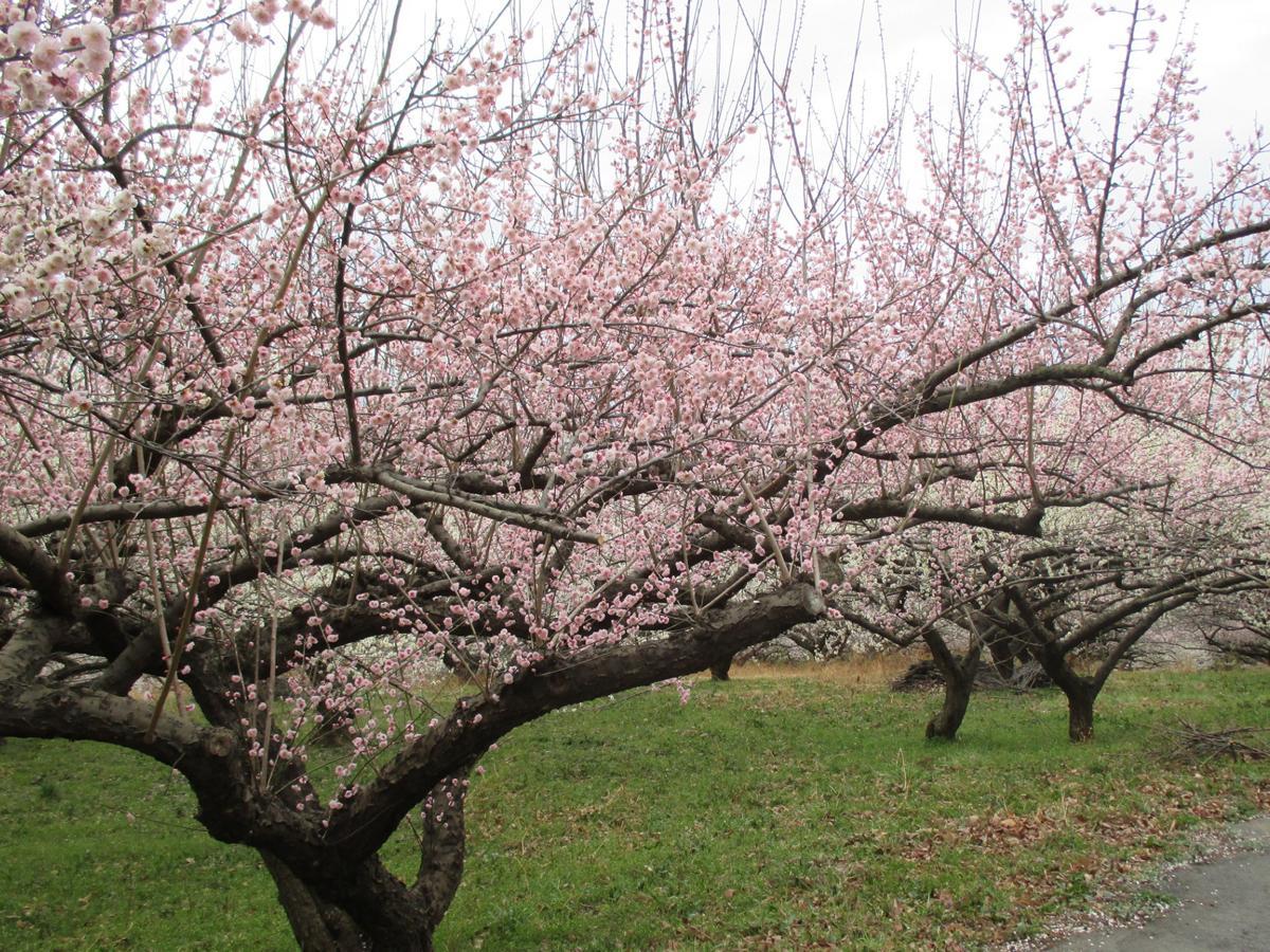 3月13日現在七部咲き。週末に満開を迎えるとみられる榛名梅林