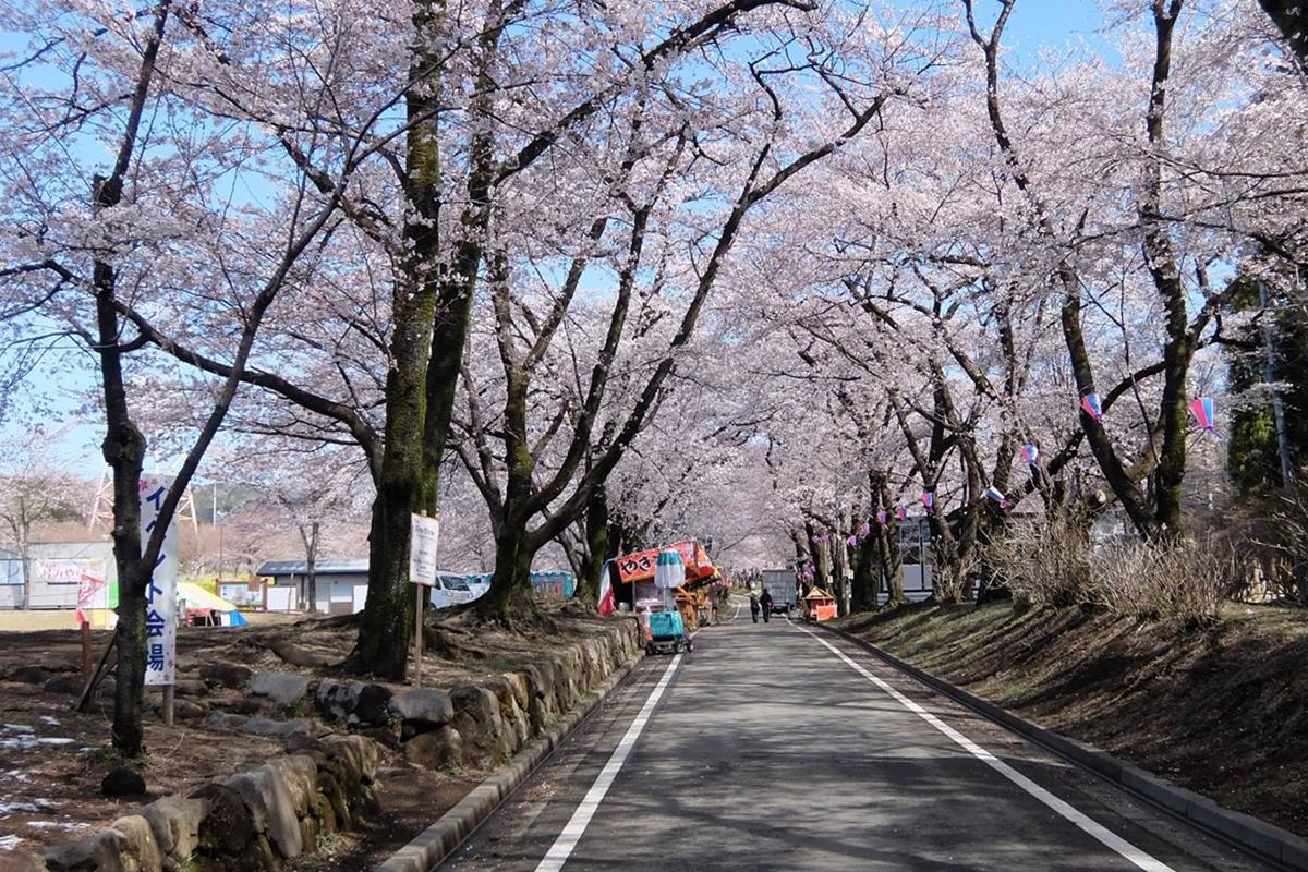五~七分まで進んだ「赤城南面千本桜」、4月11日撮影