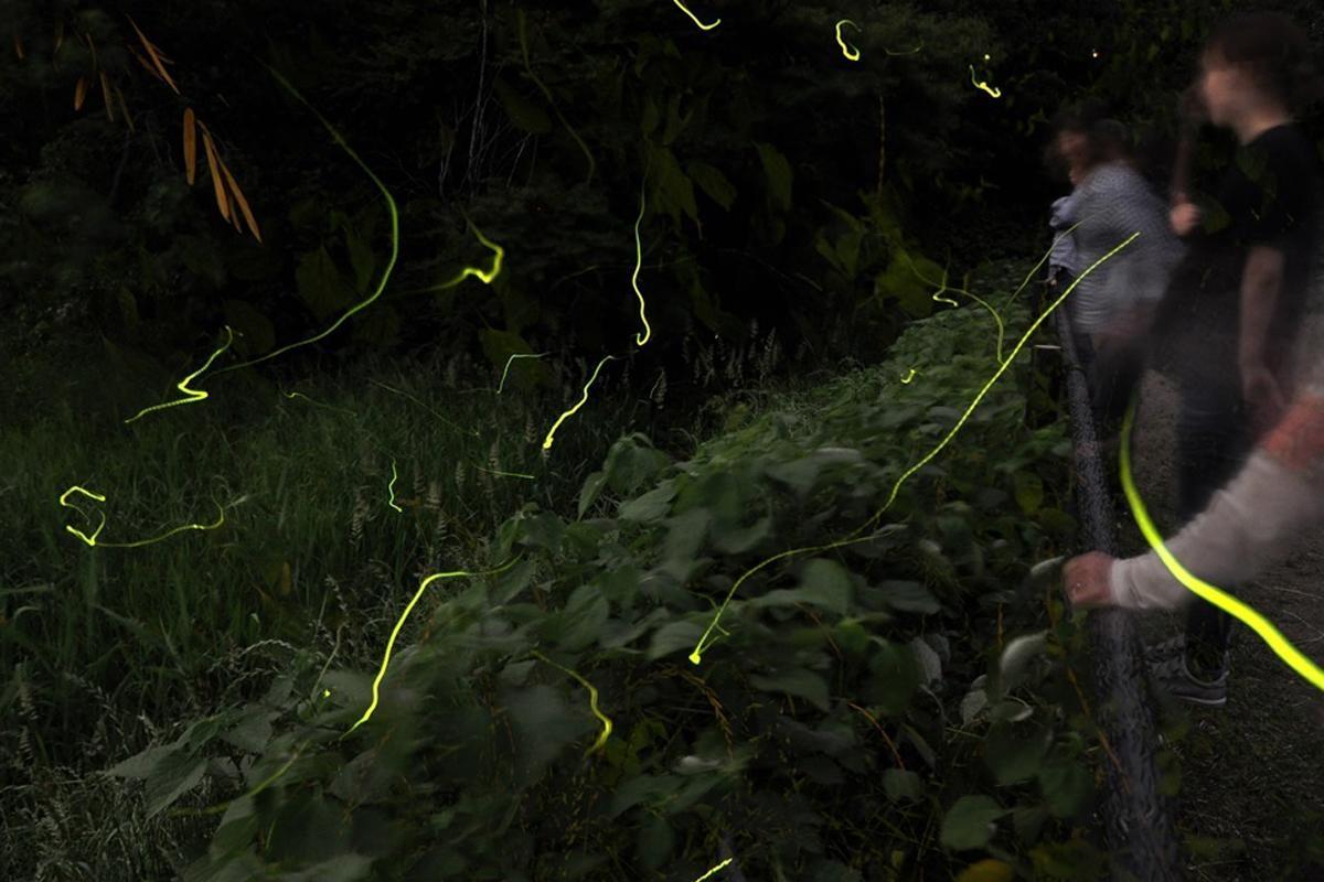 ホタルは気温が20度以上で蒸し暑く、風のない夜に特に多く飛ぶ