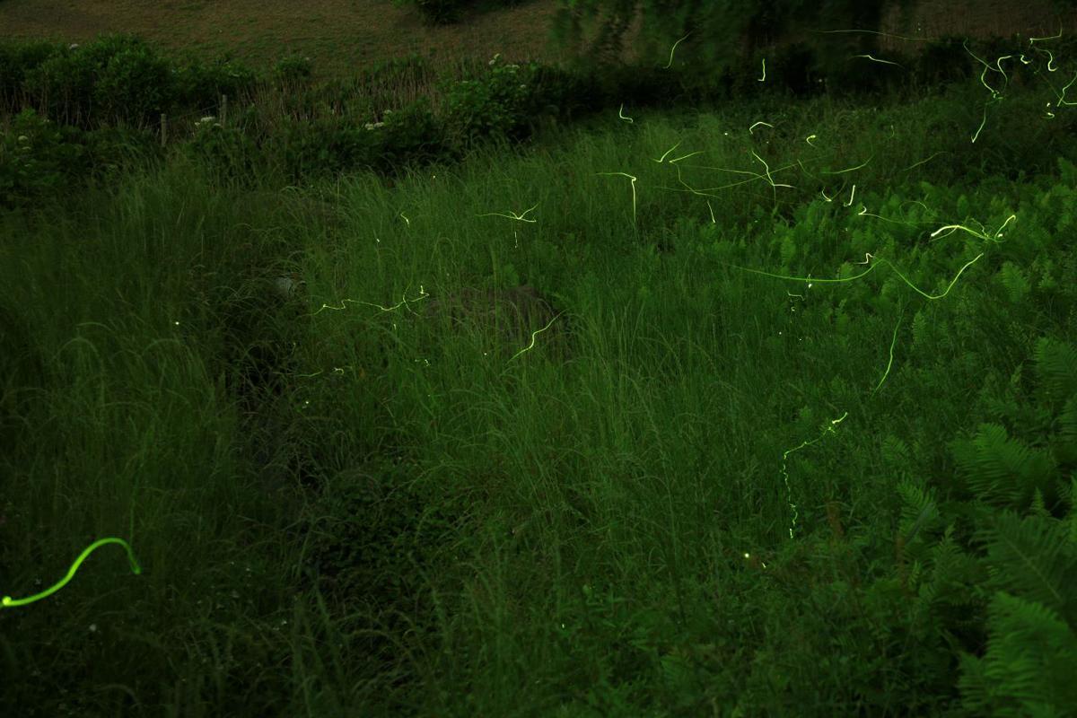 ホタルは蒸し暑く、風のない夜に特に多く飛ぶ