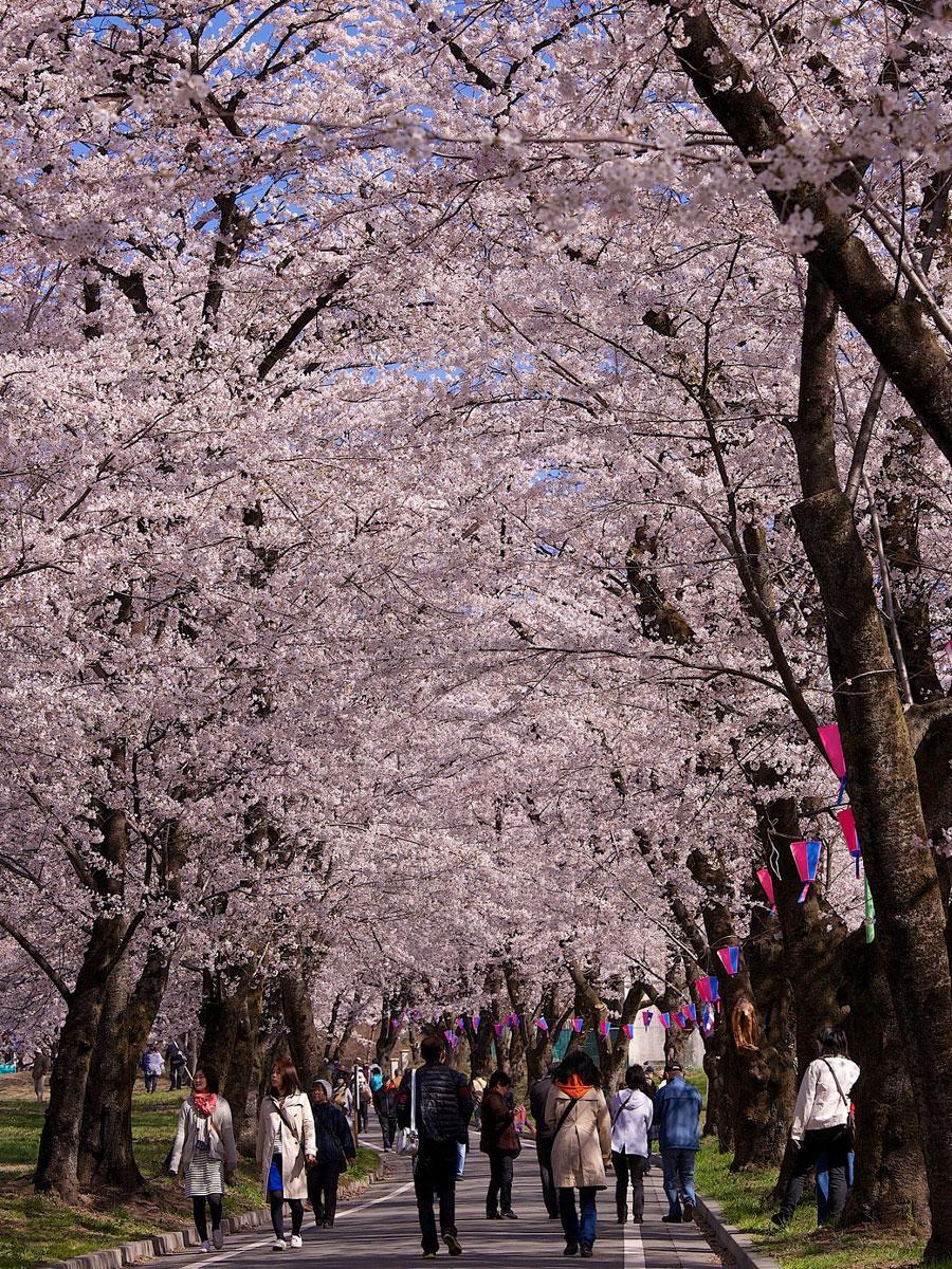 「赤城南面千本桜」は約1.3キロの桜のトンネルが続く北関東有数のサクラの名所
