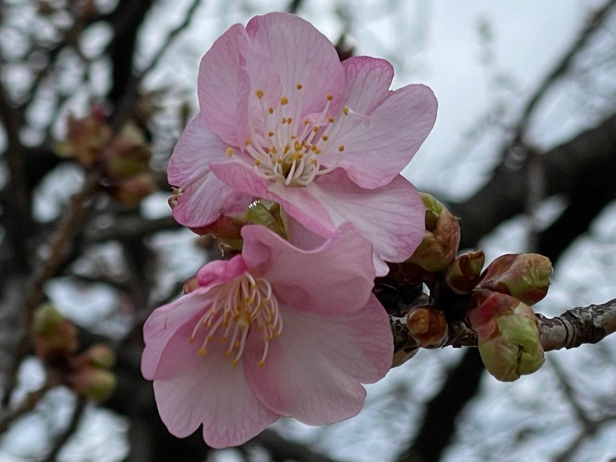 河津桜、2月8日撮影