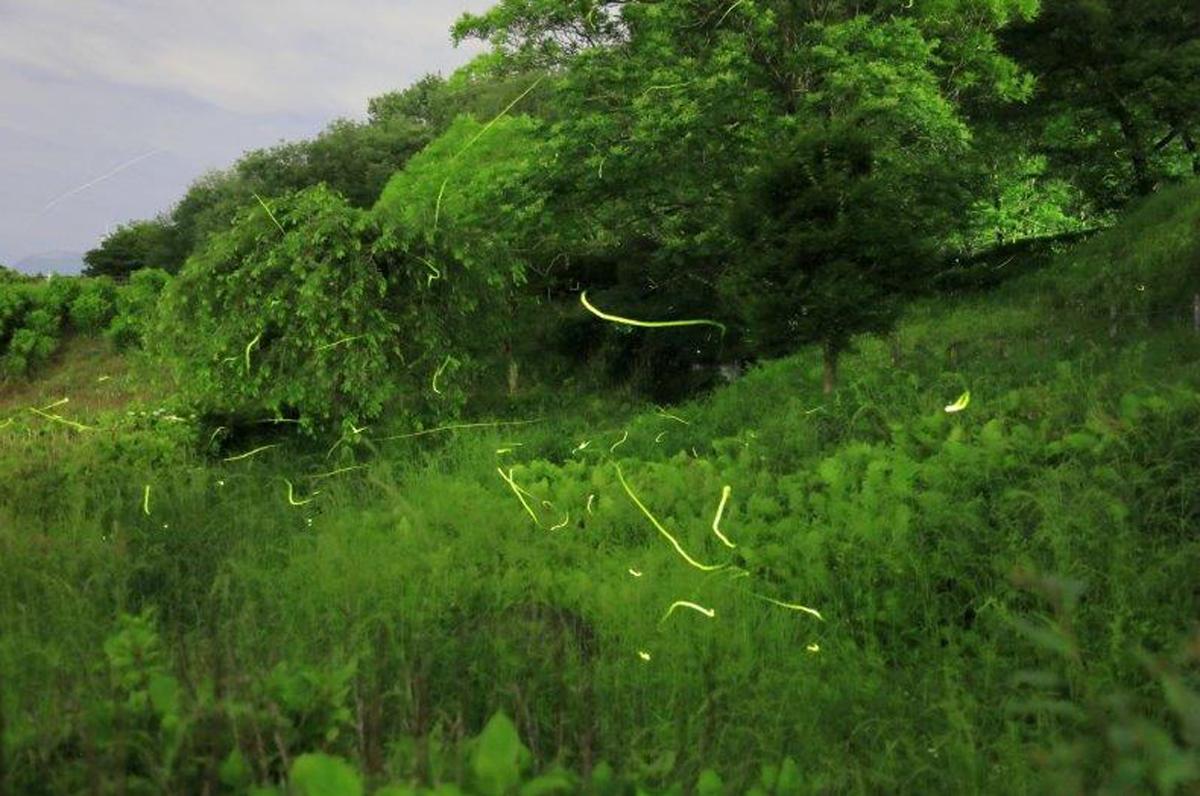 100匹のホタルを観測(5月31日撮影)