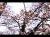 北関東のサクラの名所「赤城南面千本桜」 週末に見頃か