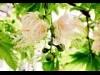 幻の花咲く、問題は開花時間 ぐんまフラワーパーク「サガリバナ」
