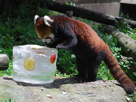 リンゴ入り氷に夢中のレッサーパンダ