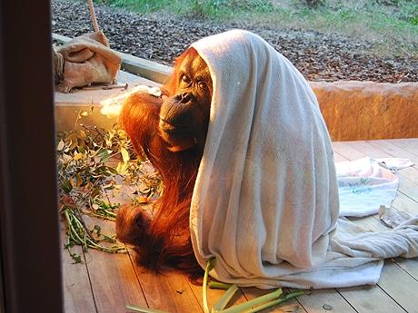 毛布をかぶって飼育員お手製のショウガ湯を味わうユキ(昨年12月撮影)