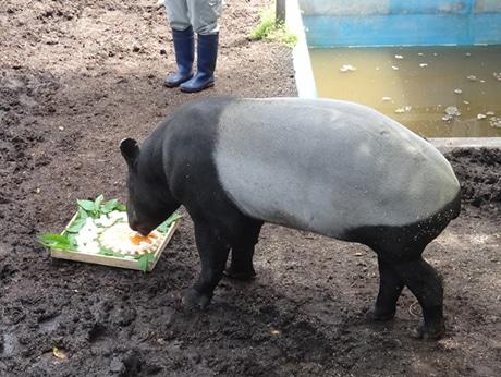福岡市動物園でマレーバクのオス・ジュリの誕生日会(昨年の様子)