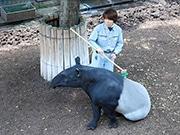 福岡市動物園で「敬老の日」イベント 最高齢マレーバクらを祝福