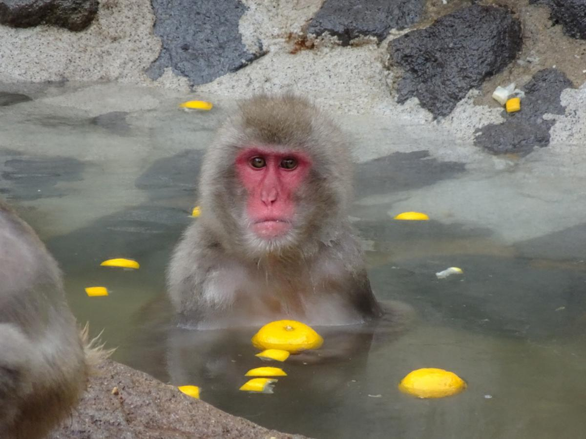 以前開催されたゆず湯を楽しむニホンザルの様子(福岡市動物園提供)