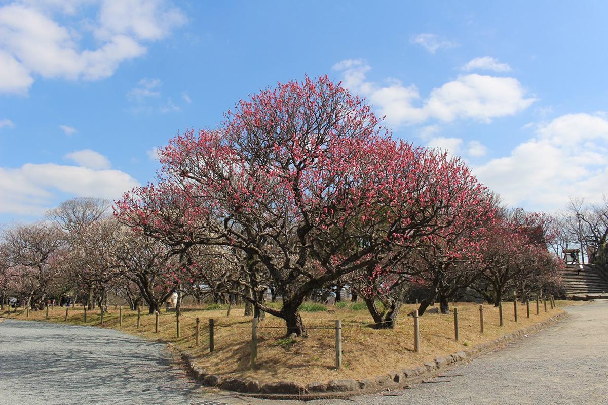 舞鶴公園梅園で「福岡城 梅まつり」が開催