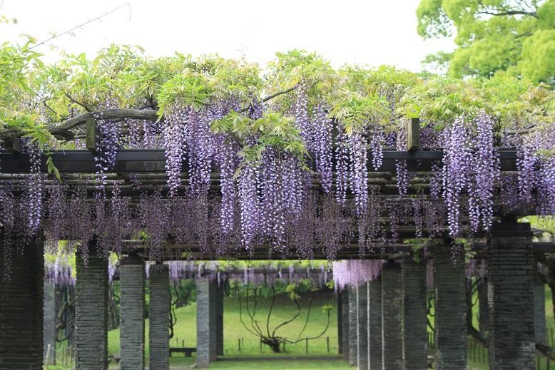 4月下旬より見ごろを迎える。舞鶴公園の藤園は30本のフジの木からなる藤棚。