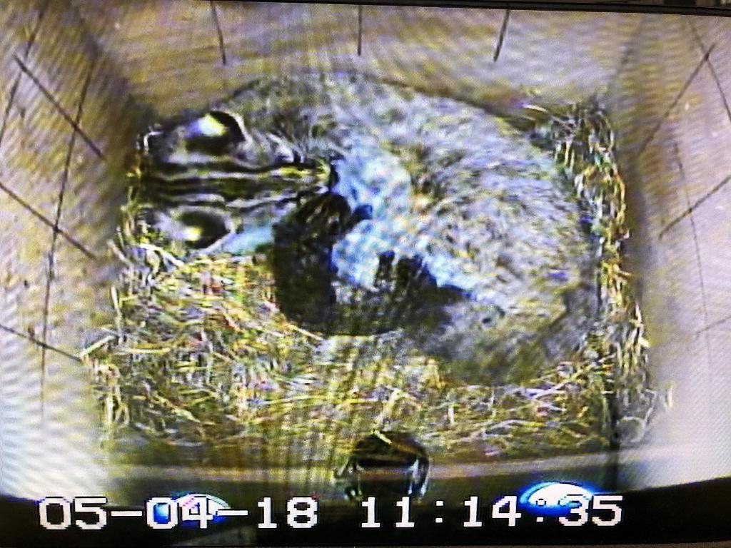 出産後のツシマヤマネコ母子の様子(写真=5月4日非公開施設モニター撮影・福岡市動物園提供)