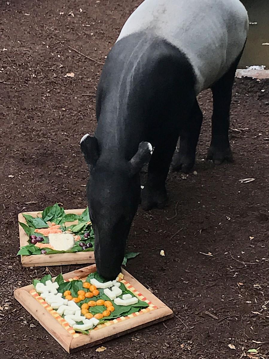 30歳誕生日会でケーキを食べるマレーバクのジュリ