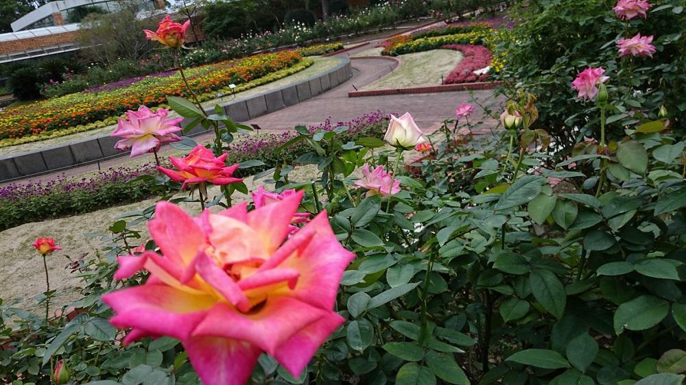 福岡市植物園のバラ(10月12日撮影)