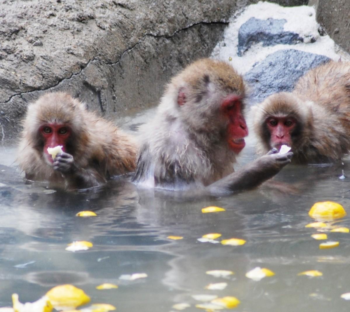 昨年のゆず湯を楽しむニホンザルの様子(福岡市動物園提供)