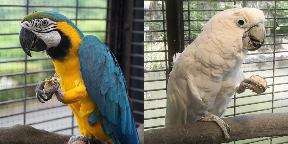 ルリコンゴウインコ(左)と、今年4月に来園したタイハクオウム(写真は福岡市動物園提供)