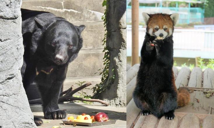 ツキノワグマ「ゲンキ」(左)とレッサーパンダ「マリモ」(写真提供=福岡市動物園)
