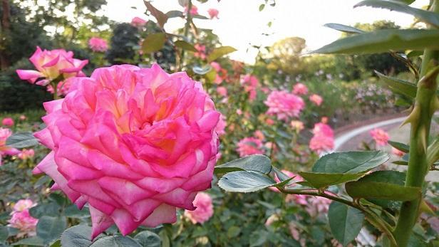 福岡市植物園のバラ(2019年10月8日撮影、福岡市植物園提供)