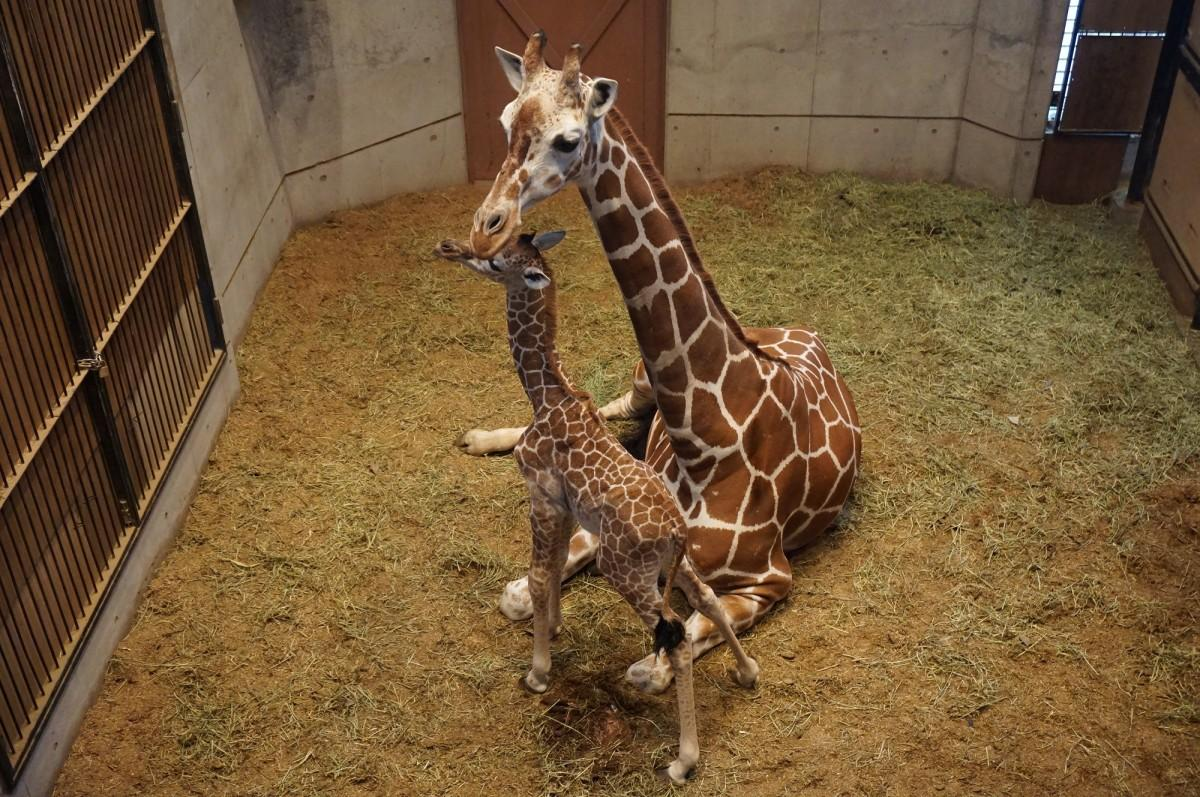 非公開の獣舎内で、アミメキリンの赤ちゃんと母親 (2月6日撮影、写真提供=福岡市動物園)