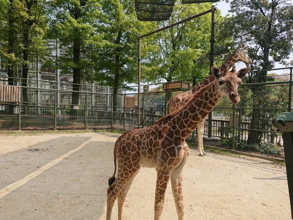 福岡市動物園が公式インスタグラムで公開したアミメキリンの子ども、生後2カ月(写真提供=福岡市動物園)