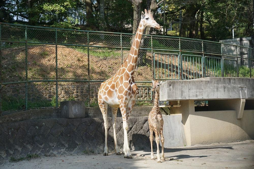福岡市動物園のアミメキリンの赤ちゃんと、母親のリンダ