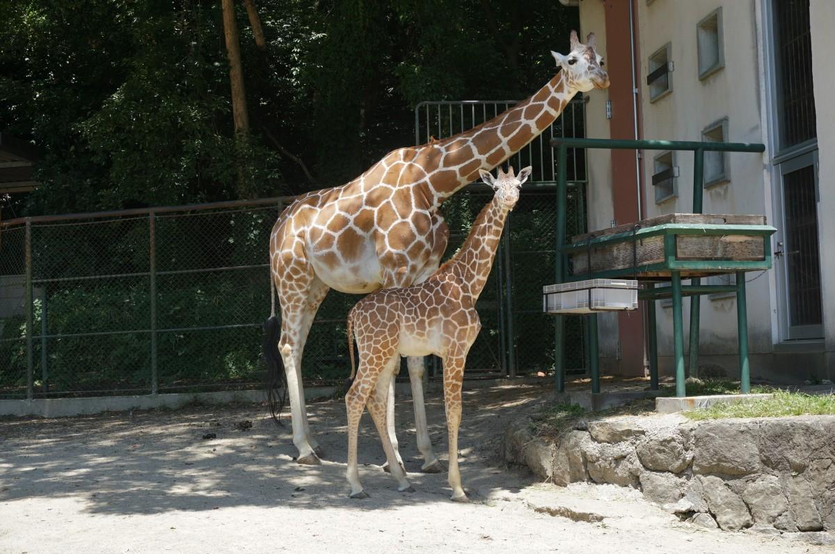 福岡市動物園のアミメキリンの子どもと母親のリンダ(6月8日撮影、写真提供=福岡市動物園)
