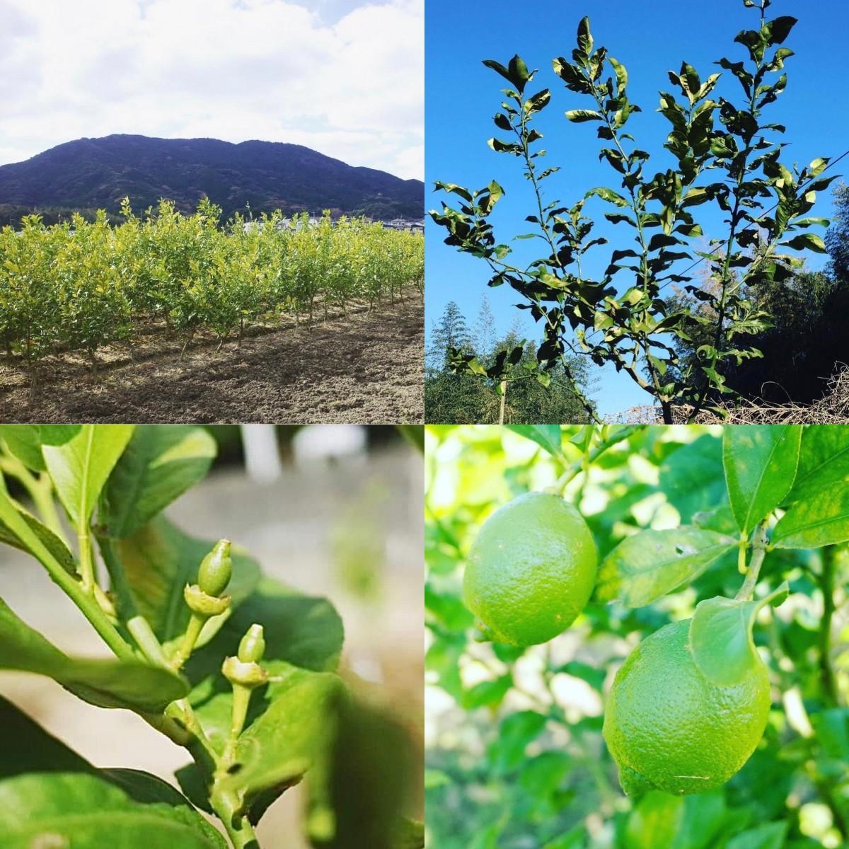 「有機レモン農園 糸島れもん」とグリーンレモン