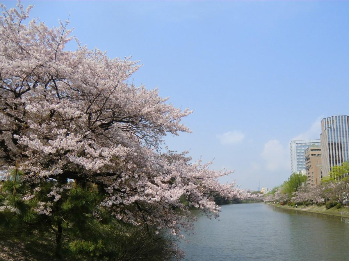 お堀沿いの桜(過去の様子) 写真=福岡城さくらまつり実行委員会提供