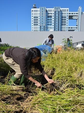 お台場の商業ビルの屋上の「田んぼ」で稲刈りが行われた
