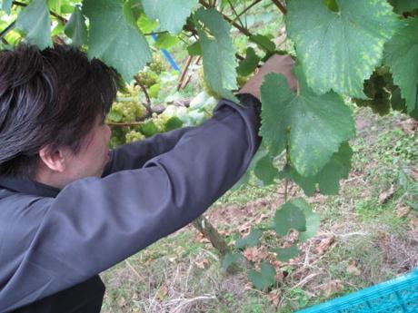 ブドウの収穫の様子
