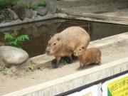 カピバラの赤ちゃん「ユズちゃん」お披露目公開-上野動物園