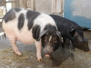 沖縄県の在来豚「アグー」「アヨー」-上野動物園でお披露目公開