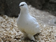 スバールバルライチョウ、上野動物園で日本初公開