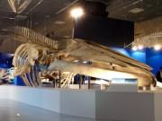 国立科学博物館で「大ほ乳類展 海のなかまたち」-25メートルのシロナガスクジラも