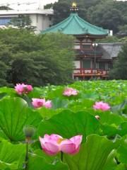 上野公園・不忍池でハスが開花-花が咲く午前中に見物客多く