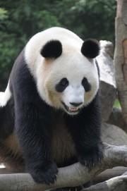 ジャイアントパンダ詳細発表-雄の「ビーリー」と雌の「シィエンニュ」