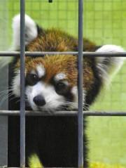 上野動物園のレッサーパンダが引っ越し-ジャイアントパンダ来園に向け余儀なく