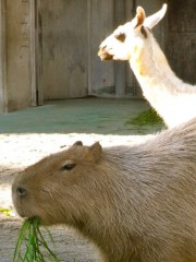 上野動物園のカピバラ、バクにかみつく-「バクにも油断あった」?