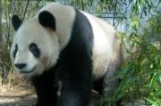 上野動物園のジャイアントパンダ、名前決まる、一般公開は3月22日
