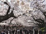 上野公園の桜が見ごろに-満開は7日ごろ