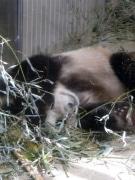 ジャイアントパンダがうずくまる-特有の生理現象、健康上の問題なし