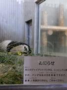 ジャイアントパンダ、再びうずくまる-慣れない環境の影響か
