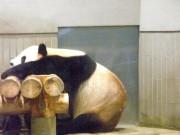 上野動物園の来園者数が100万人突破-パンダの行列はほぼ解消