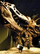 国立科学博物館で「恐竜博」-トリケラトプスVSティラノサウルスの対決も