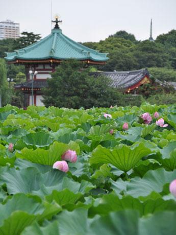 上野公園・不忍池のハス、満開間近-例年より早く開花