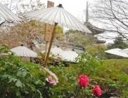 上野東照宮に3200株の「春ボタン」-見頃は4月下旬から