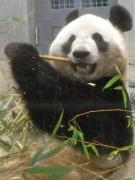 ジャイアントパンダの「シンシン」が出産-性別不明、24年ぶり