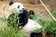ジャイアントパンダが2回交尾-「シンシンは急に盛り上がるタイプ」