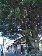 谷中名物「ヒマラヤ杉」が伐採の危機に-守る会発足、署名活動も